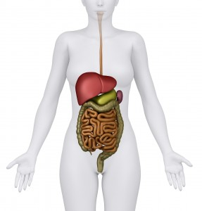 Anatomy of the Female Digestive System Organs - anerior view