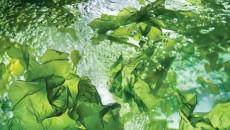 אצות סופרפודס
