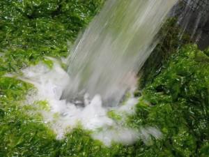 אצות אולווה