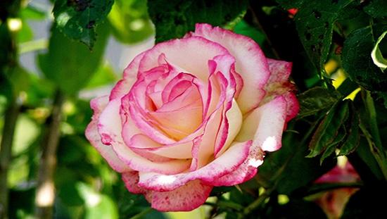 ממרח ורדים