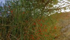 """שרביטן ריסני, לאחר יצירת מיצוי צמחי בפרוטוקול מיוחד, הראו במו""""פ ערבה, כי הצמח מיצר חומרים המסוגלים להרוג תאי סרטן מסוג לימפומה"""