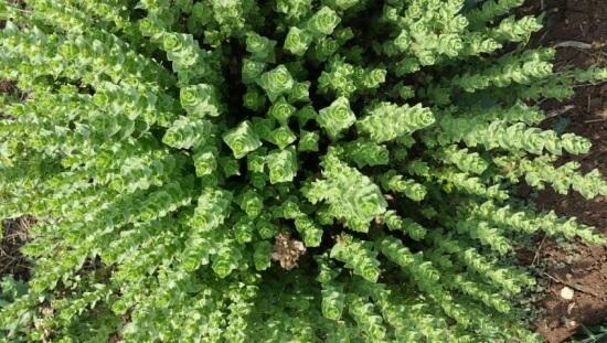 צמחי תבלין מרפא ובושם ביום לימוד חוויתי עם אברהם דהאן בחוות שירת המדבר