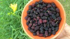 תותי עץ בקערה, הם אחד מצמחי המרפא העוצמתיים עבור טיפול טבעי בסוכרת סוג 2