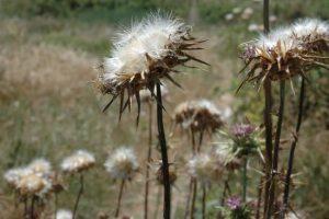 גדילן בזמן פיזור זרעים