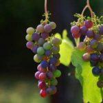 שימוש בשמן זרעי ענבים