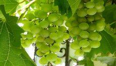 שמן ענבים