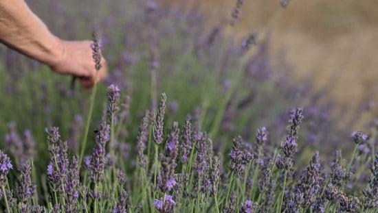 צמחי המרפא מקבלים טיפול אישי מסור. צילום: נוביקס