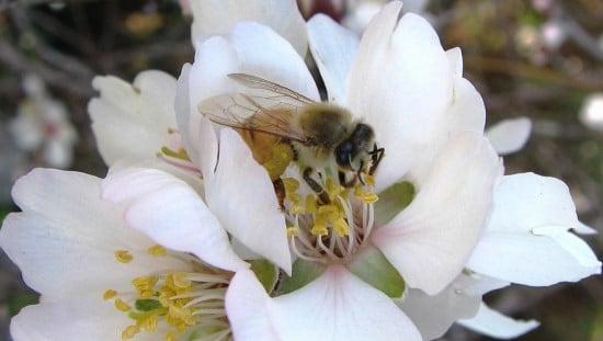 דבורה בפעולה. צילום: מועצת הדבש