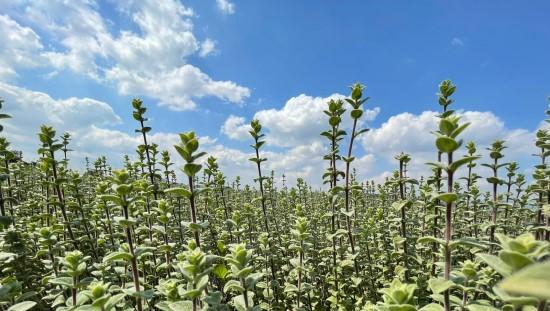 שדות אורגנו ברמת הגולן בגידול אורגני. צילום: נוביקס
