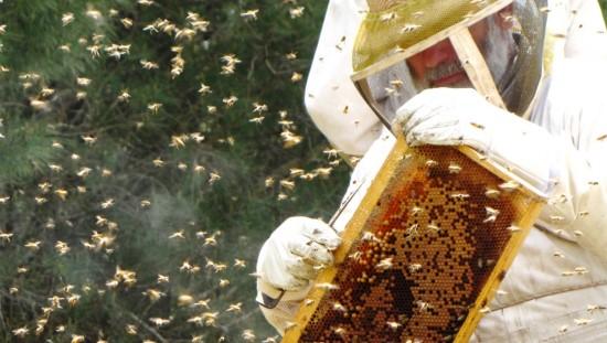 דבוראי ישראלי בפעולה! צביקה אופיר מאלון הגליל, דור שלישי במשפחת דבוראים. צילום: אדוה אופיר