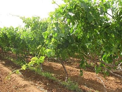 כרם ענבים (חגית אריאלי)