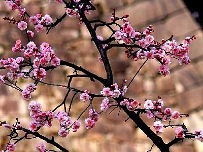 פריחת עצי שזיף (צילום: tumblir)
