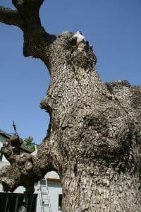 עץ משאלות עתיק