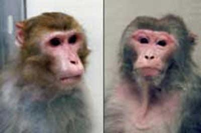 קופים מהמחקר. צילום באדיבות הניו-יורק טיימס